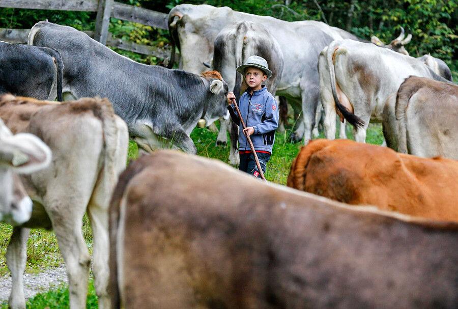 Коровы с пастухом картинки