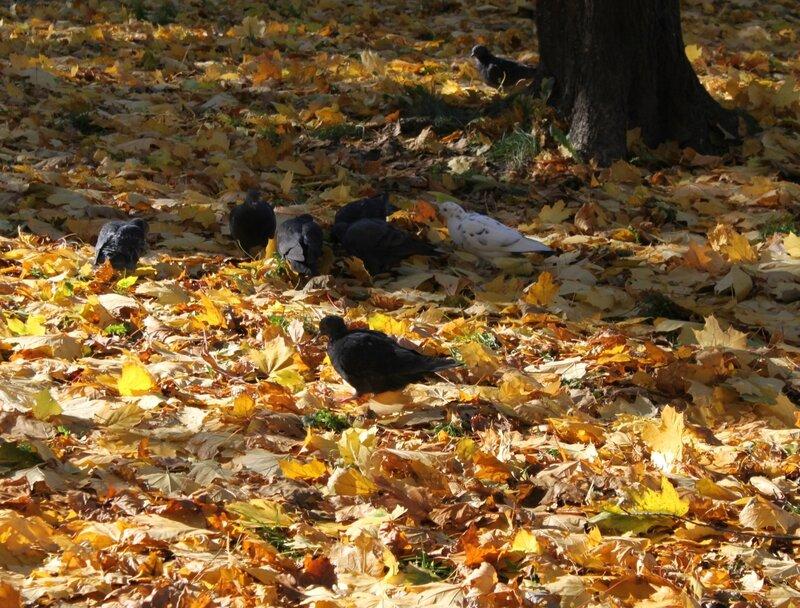 Голуби в опавших листьях
