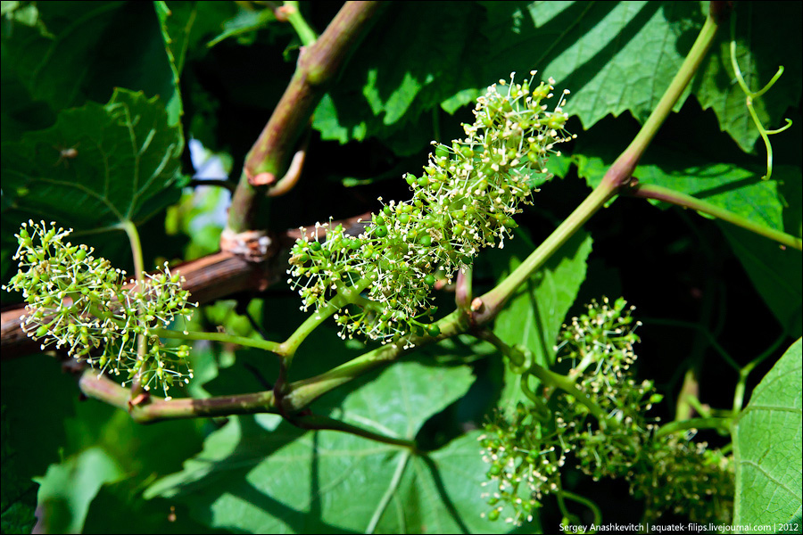 Цветение винограда