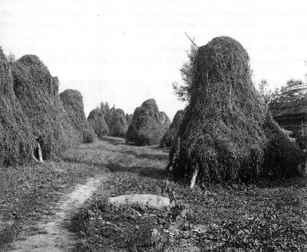 Сушка сена на кольях. Ленинградская обл. Фото 1920-х гг.