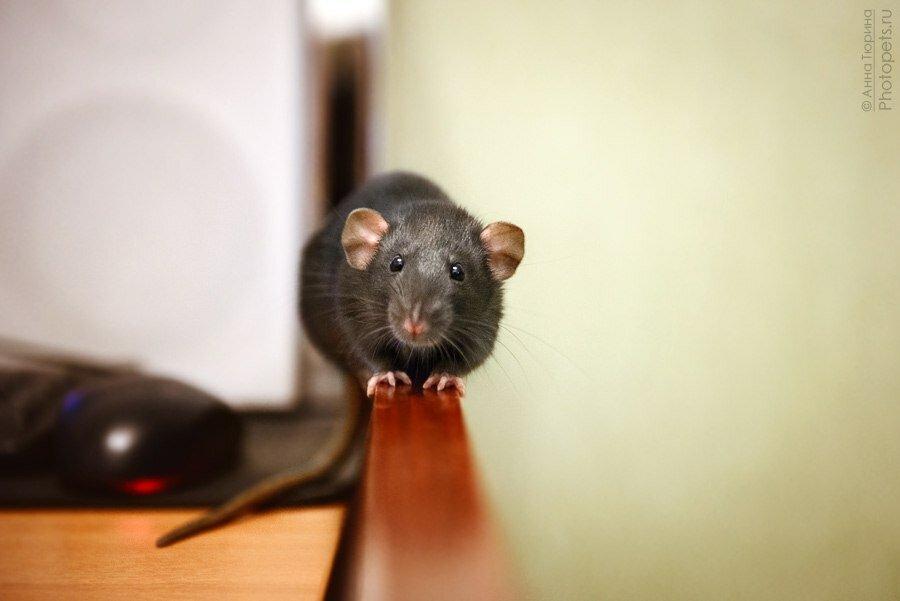 фотография крысы
