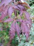 Acer pal. 'Burgundy Lace'