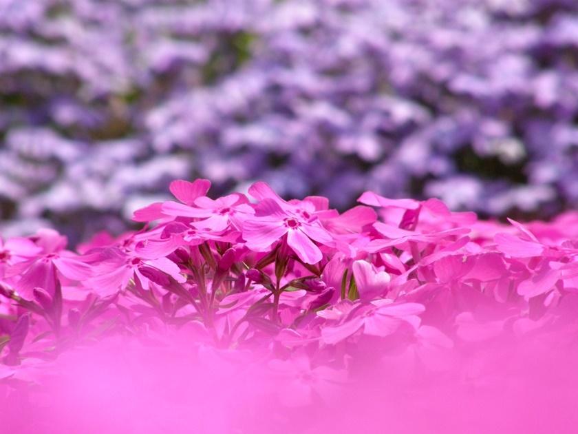 Цветущий розовым японский парк Хицудзияма. Фотографии 0 141ad3 65726fbb orig