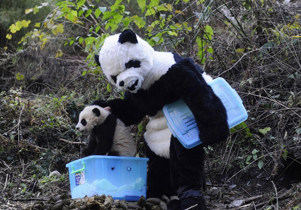 19. И снова малая панда. (Фото Paul Gilham):