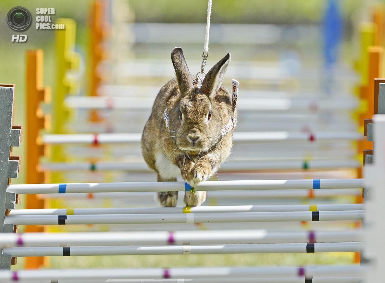 Германия. Рёденталь, Бавария. 1 сентября. Во время кроличьих прыжков — шуточном состязании для к