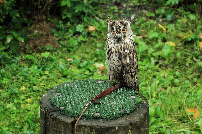 Музей соколиной охоты, ушастая сова