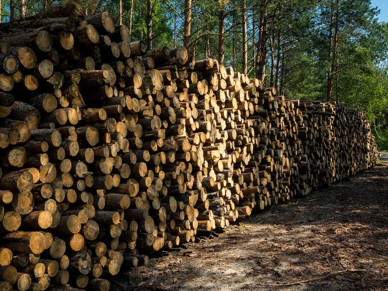Заготавливают лес