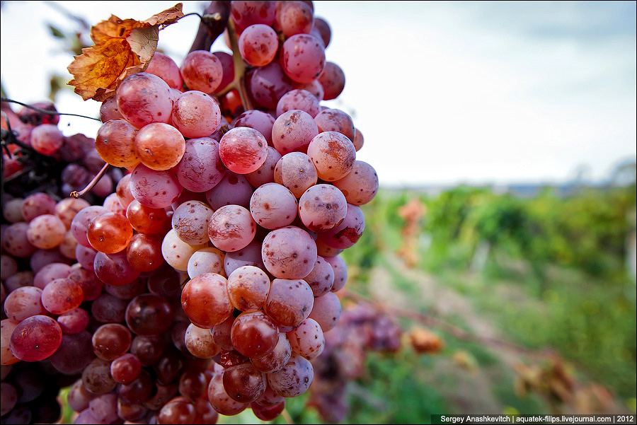 Созревание винограда