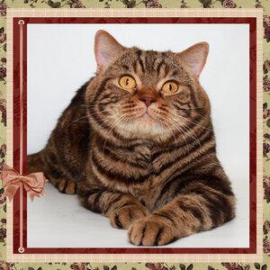 Aseltika Hennessey b 22 британский короткошерстный кот шоколадного мраморного окраса