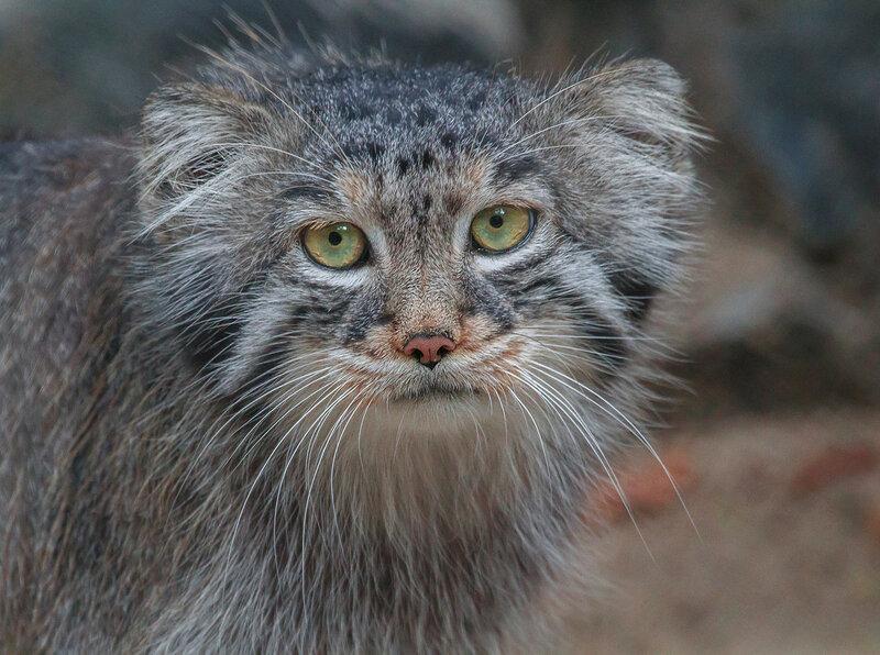 Манул ( погладь кота ) ) )
