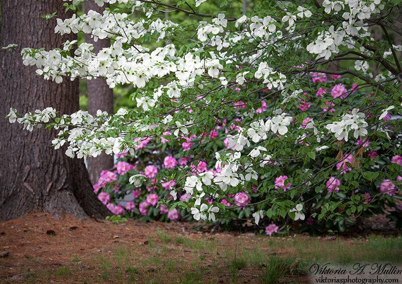 Цветут деревья Dogwood и рододендроны_0914