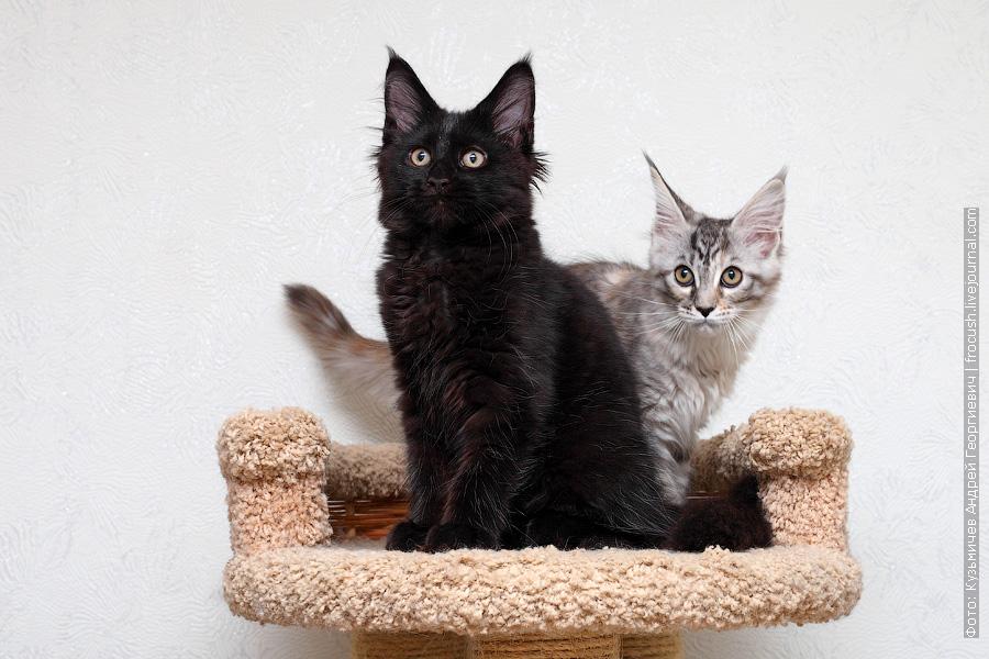два котенка Мейн-кун из питомника в Москве
