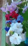 На фазенде рабыни Изауры.  (наши огородно-цветочные хвастики) 0_98df0_cc881572_S