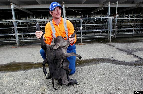 В Новой Зеландии корова родила мутанта (2 фото)