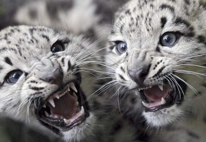 Ирбис, он же снежный барс, он же snow leopard. Фото, видео, информация