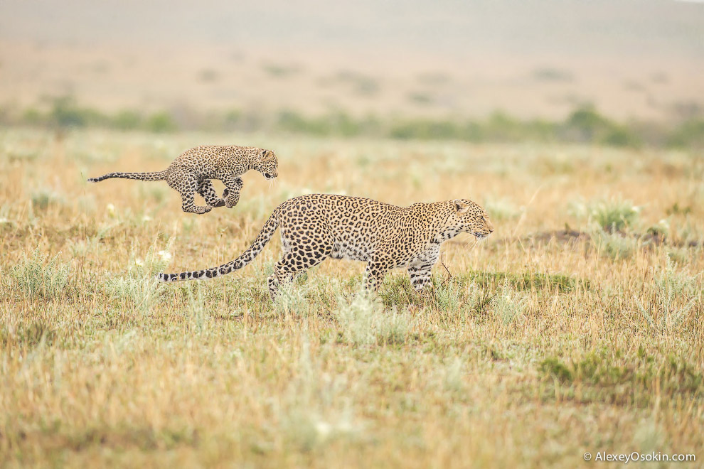 5. Казалось бы, хищники — такие сильные звери, но шансы детеныша стать этими грозными хищником очень