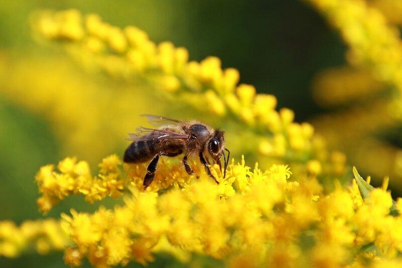 Пчела с поврежденными крыльями собирает нектар на жёлтом цветке северной мимозы 6923