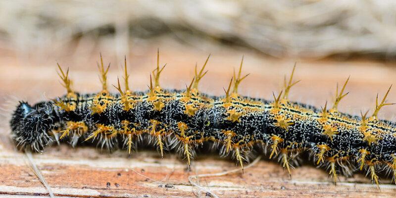 Гусеница пестрокрылки