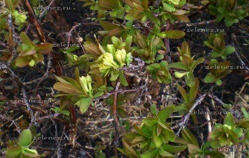 Жимолость цветёт даже раньше черёмухи.