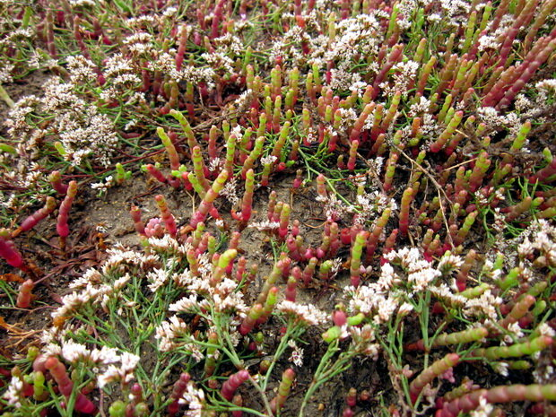 растения на Донузлаве