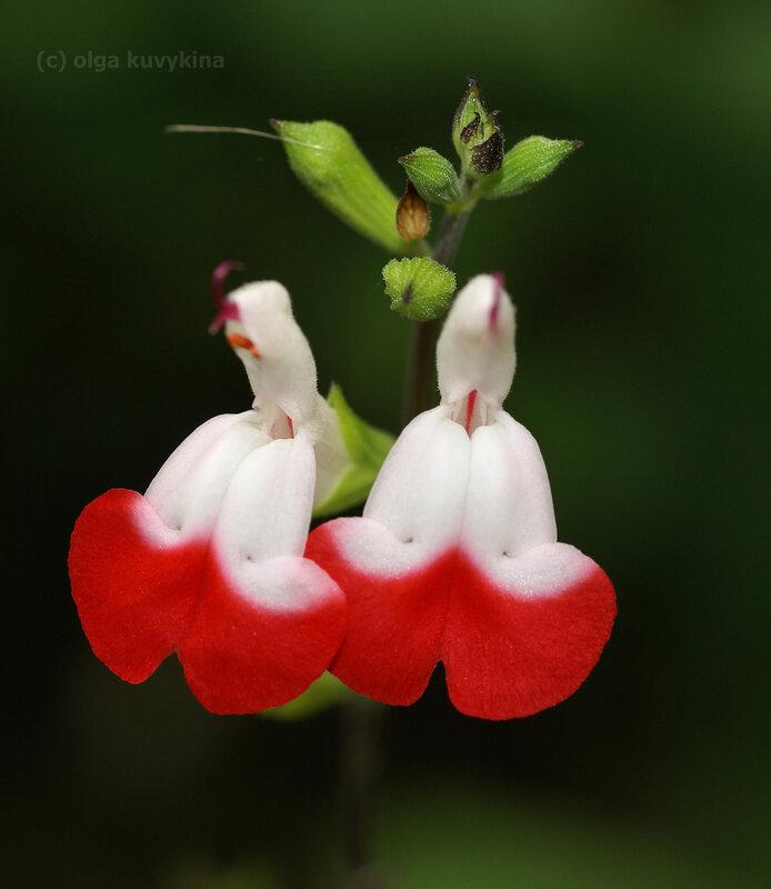 """Шалфей мелколистный «Горячие губки» - (Salvia microphylla """"Hot Lips"""")"""