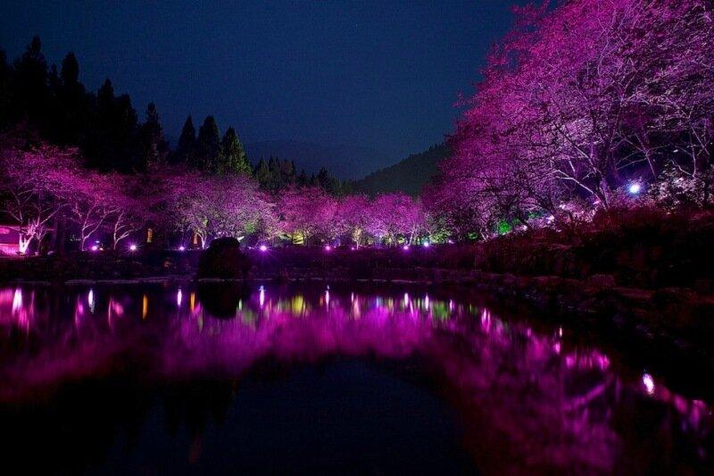 Праздник цветения сакуры на Тайване