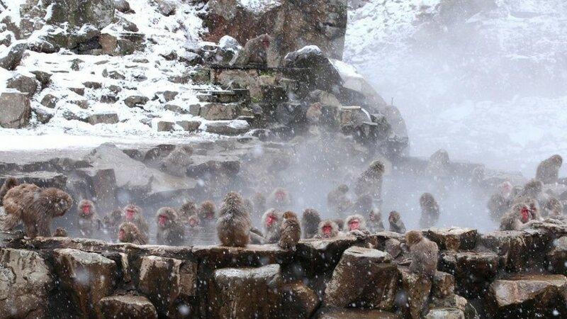 Джигокудани — парк снежных обезьян, Япония