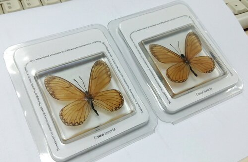 Бабочки №100 - Бабочка-Геликонида (Acraea issoria)