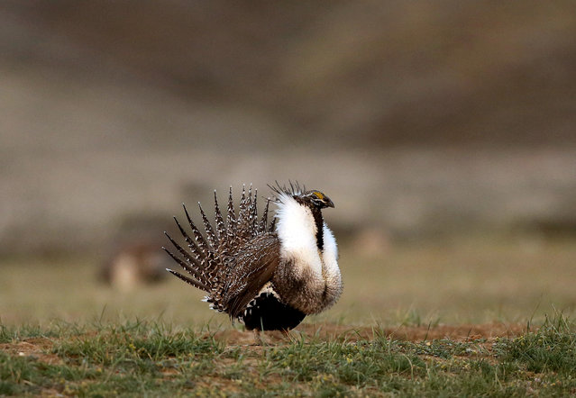 A male sage grouse struts in the early morning hours April 22, 2015 on a lek outside Baggs, Wyoming.