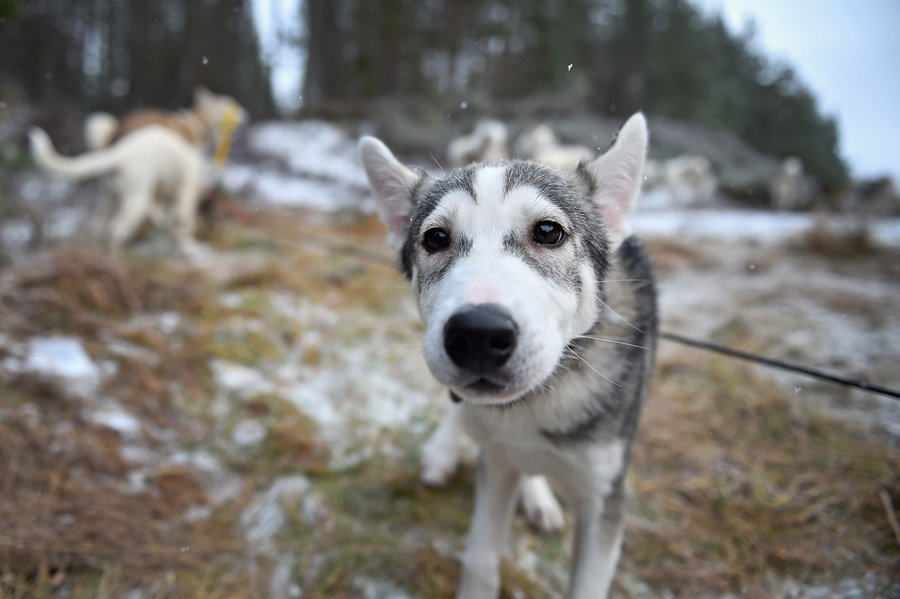 A husky waits for sled practice at a forest course on January 19, 2016, in Feshiebridge, Scotland.