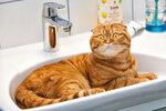 Кот. Бастилиан, Баська, Scottish Fold, Шотландский вислоухий друг. Даже больше, чем просто друг, Просто мой Бась! red cat, bastilian, my cat Bob, more Basia, My cat friend
