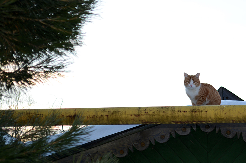 коты Сокольского