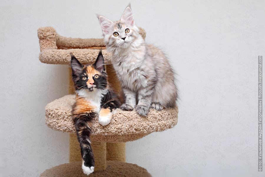 продажа котята Мейн-кун Москва питомник