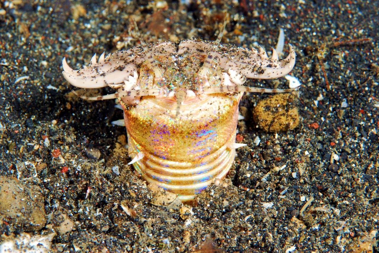 Морской червь морской член