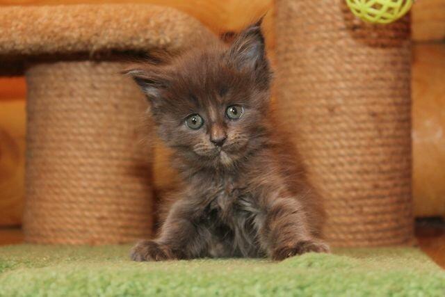 Кошка мейн-кун Жаклин фото