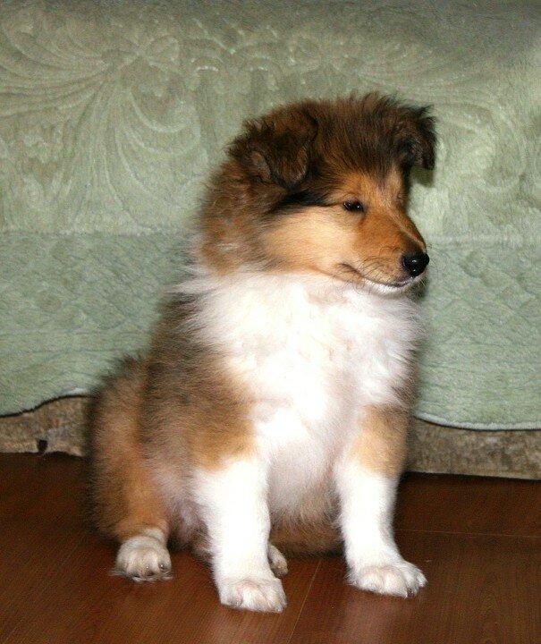 фото колли щенок