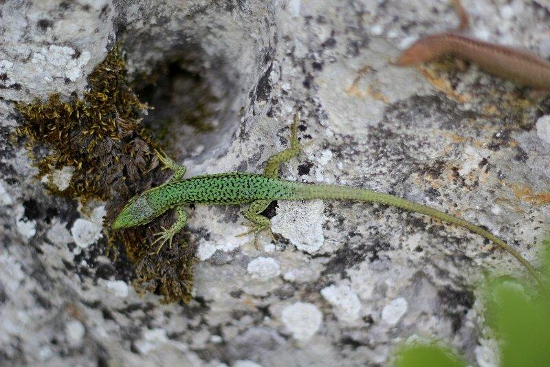 Ящерица прыткая (Lacerta agilis), самец в зеленом брачном наряде
