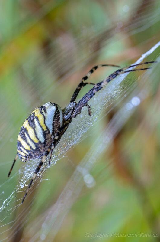 Аргиопа - паук-оса