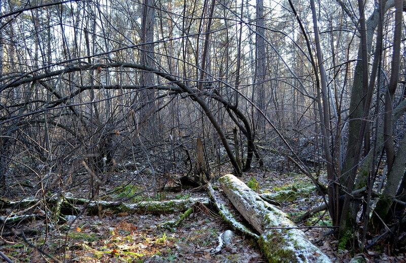 Лесные сны