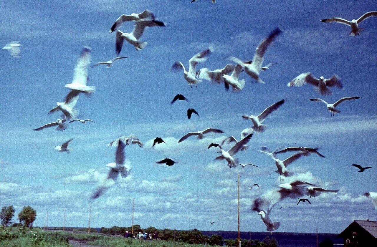 18. Онежские  чайки