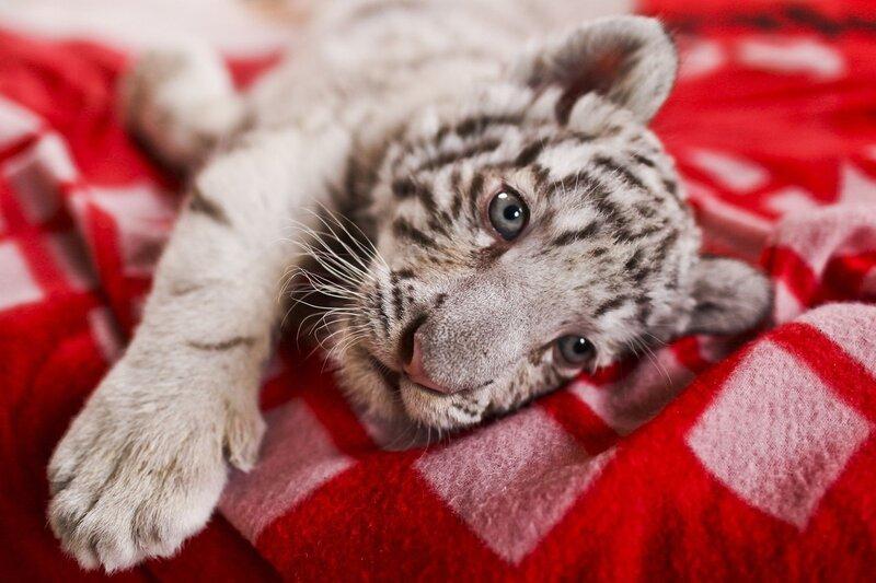 PERU-ANIMALS-WHITE-BENGAL-TIGER-ZOO