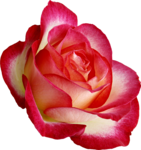 Holliewood_RoseIsARose_Rose26.png