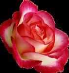 Holliewood_RoseIsARose_Rose26.png