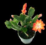 cactus (10).png