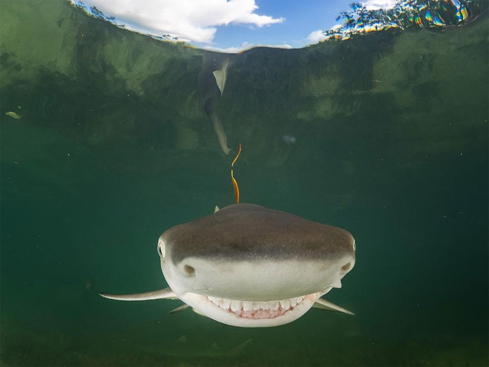 Детеныш лимонной акулы плывет на камеру, Багамы. Фото: Eugene Kitsios