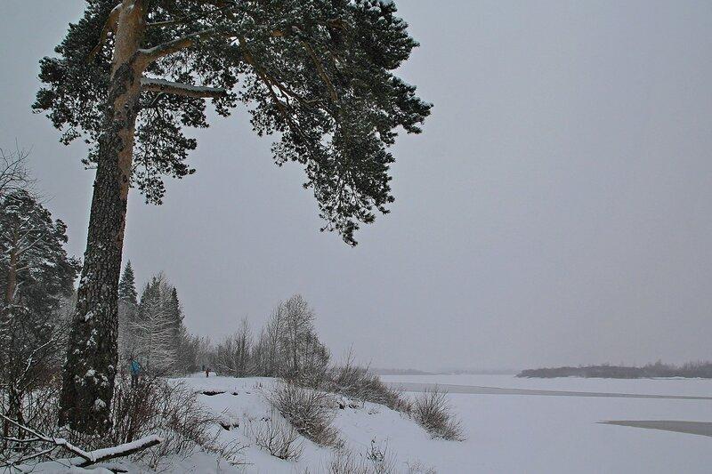 Сосна на берегу Вятки в заречном парке Кирова зимой