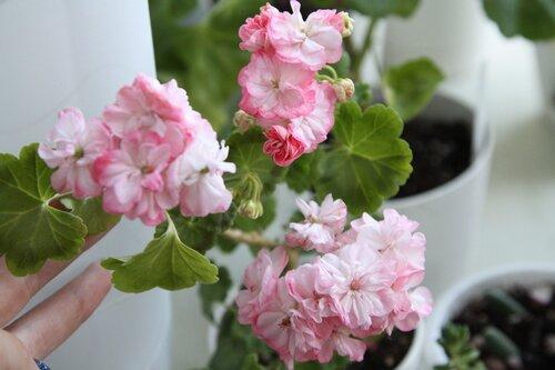 пеларгония rager s pink фото