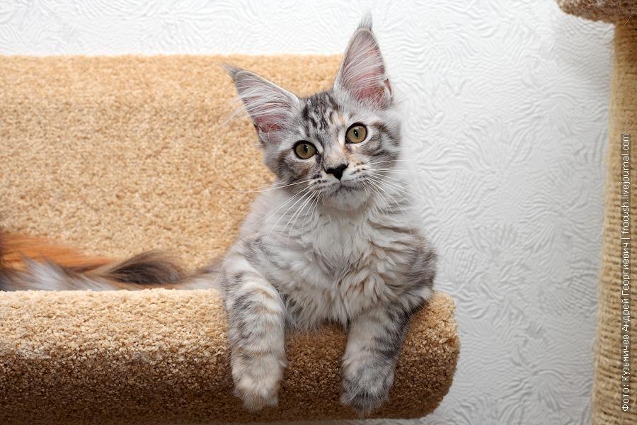 кошка Мейн-кун в питомнике