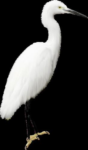 Белая цапля png