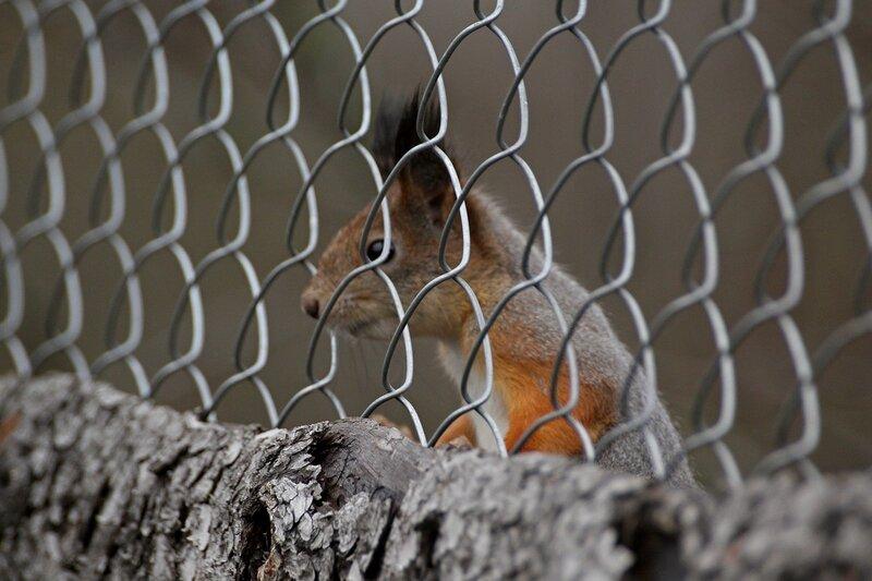 Детки в клетке (белочка за сеткой-рабицей забора) IMG_9804